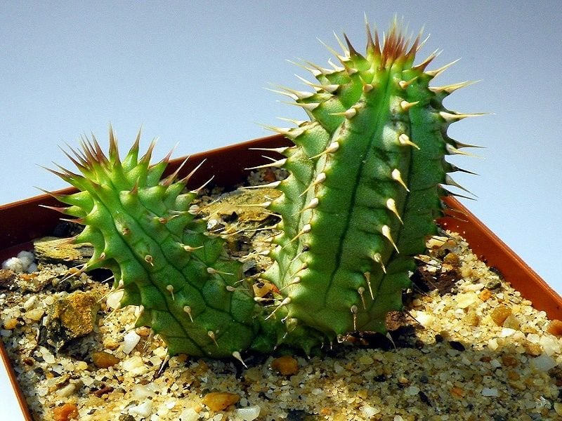 What is Hoodia? – Does Hoodia work?